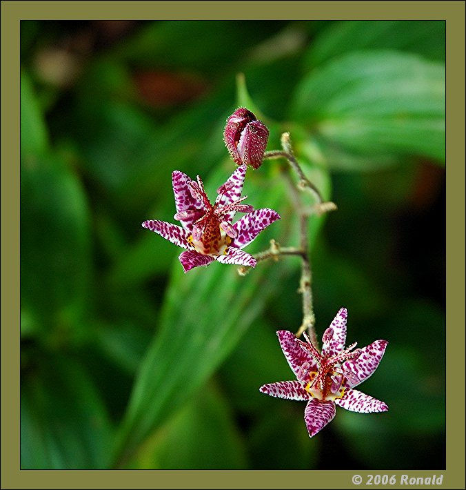 """фото """"tricyrtis"""" метки: макро и крупный план, природа, цветы"""