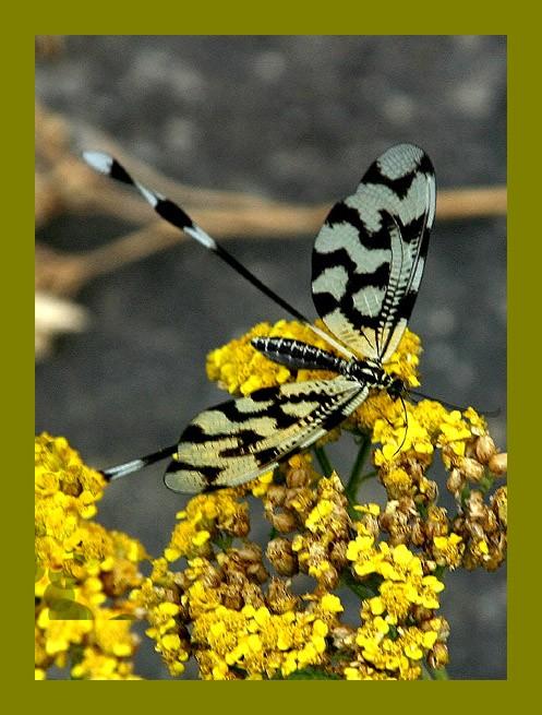 """фото """"Собралась барышня на бал"""" метки: природа, насекомое"""