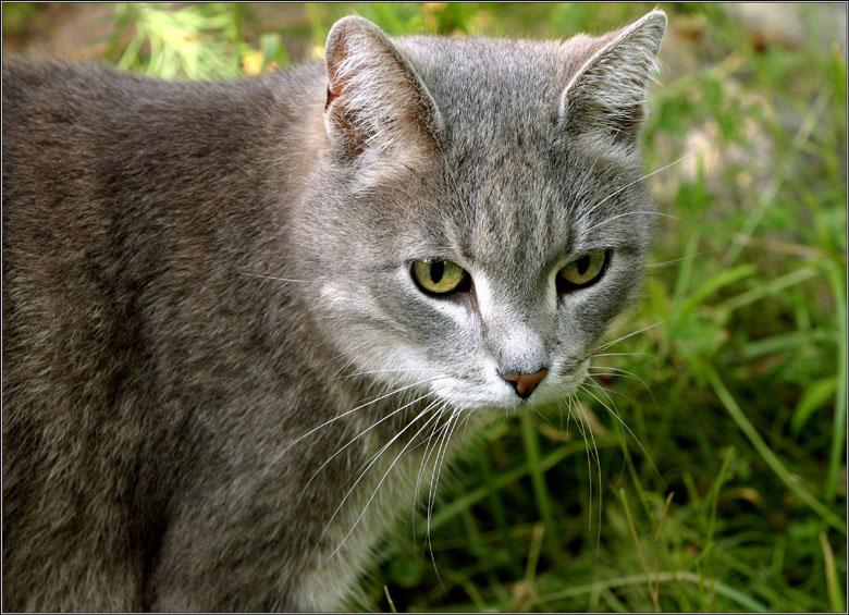 """фото """"Кот, который ходил сам по себе."""" метки: природа, домашние животные"""