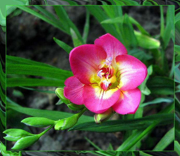 Описание и цветка фрезии