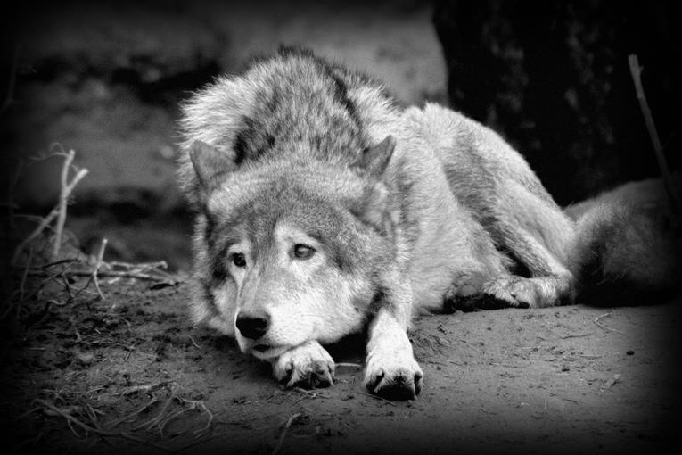 сценка картинки страдающего волка вскочил ноги