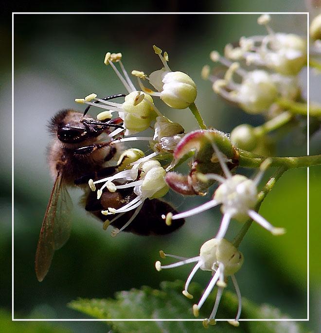 """фото """"Пчела+нектар=мёд"""" метки: макро и крупный план,"""