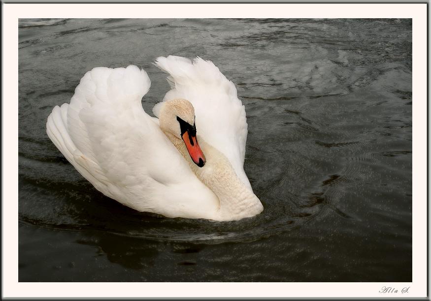 """фото """"Белый лебедь"""" метки: природа, дикие животные"""