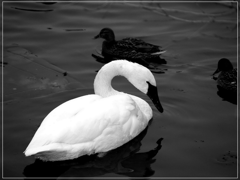 "фото ""Лебедь"" метки: природа, дикие животные"