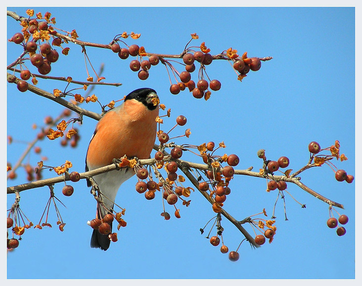 "photo ""Bullfinch in apples"" tags: nature, wild animals"