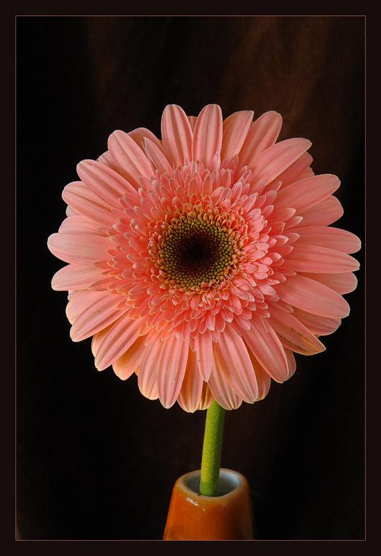"""фото """"Розовое солнышко"""" метки: природа, цветы"""