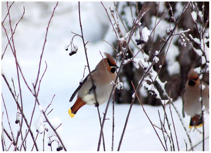 """фото """"Bombycilla garrulus"""" метки: природа, пейзаж, дикие животные, зима"""