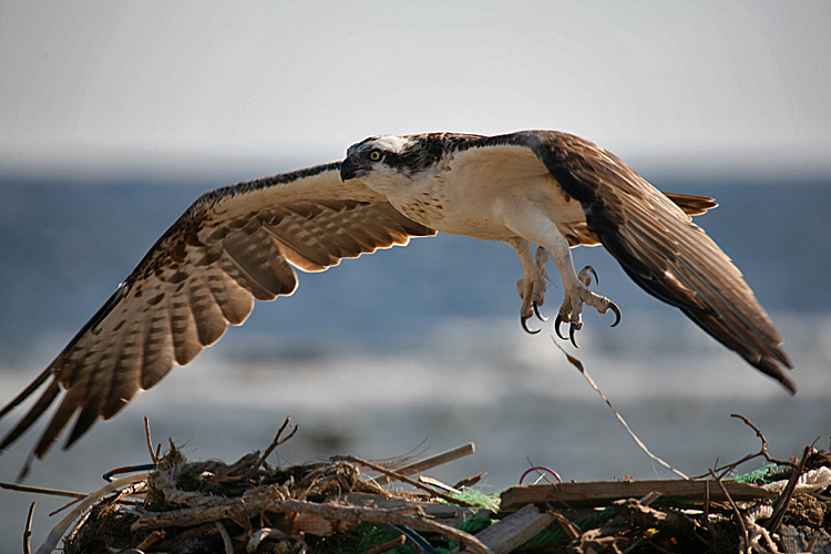 "photo ""Osprey 04"" tags: nature, travel, Africa, wild animals"