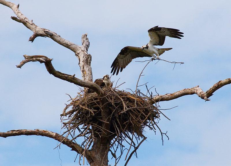 "photo ""Osprey Nest"" tags: nature, wild animals"
