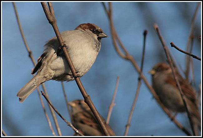 "photo ""Sparrow"" tags: nature, portrait, wild animals"