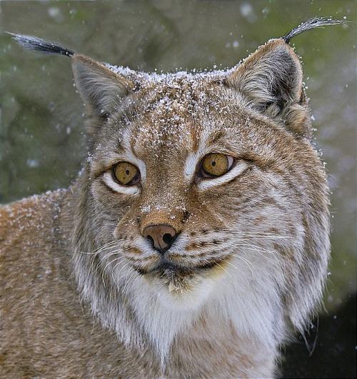 """фото """"Кошачья порода"""" метки: природа, дикие животные"""