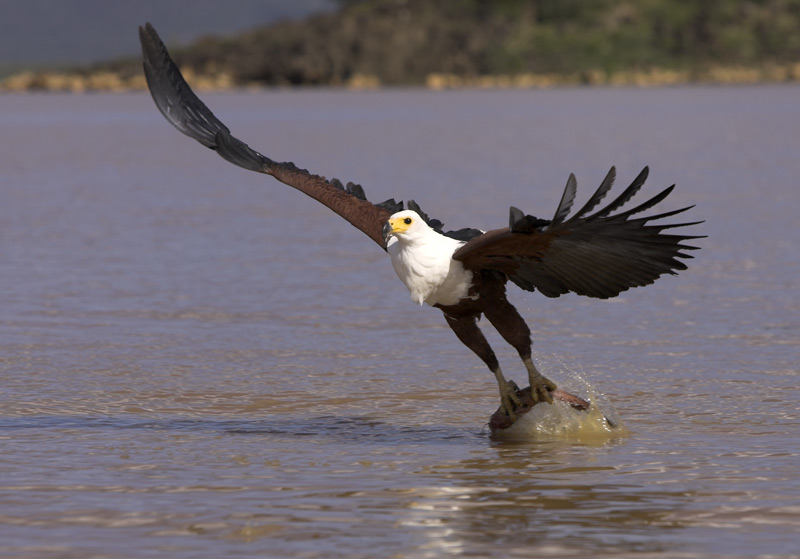 "photo ""African fish eagle hunting"" tags: travel, nature, Africa, wild animals"