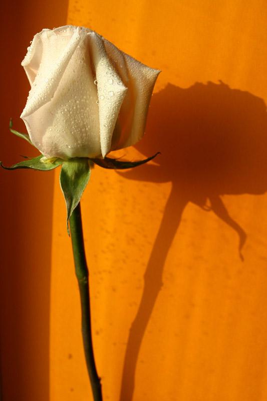 """фото """"Свет и тени"""" метки: природа, натюрморт, цветы"""