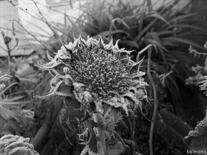 "фото ""frost"" метки: природа, цветы"