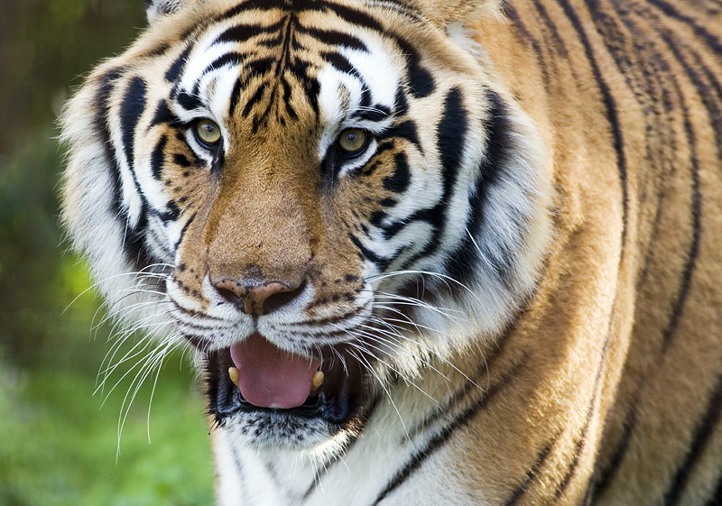 "photo ""The Tiger"" tags: nature, wild animals"