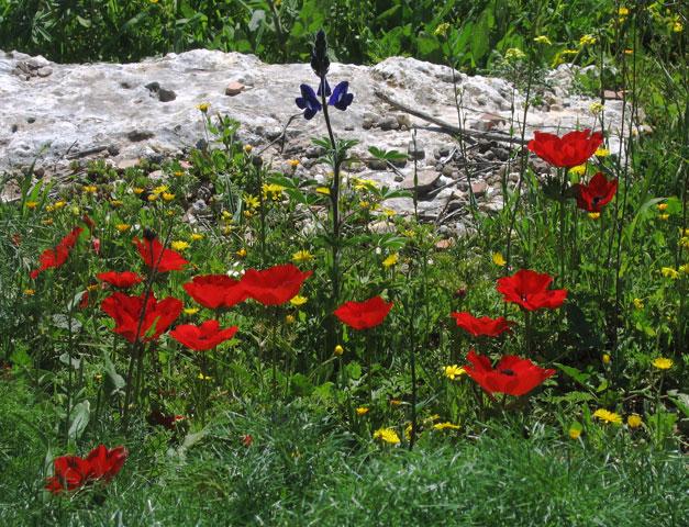 "фото ""Весна в Израиле"" метки: пейзаж, природа, весна, цветы"