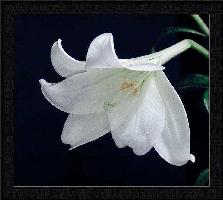 """фото """"translucent petals"""" метки: природа, цветы"""