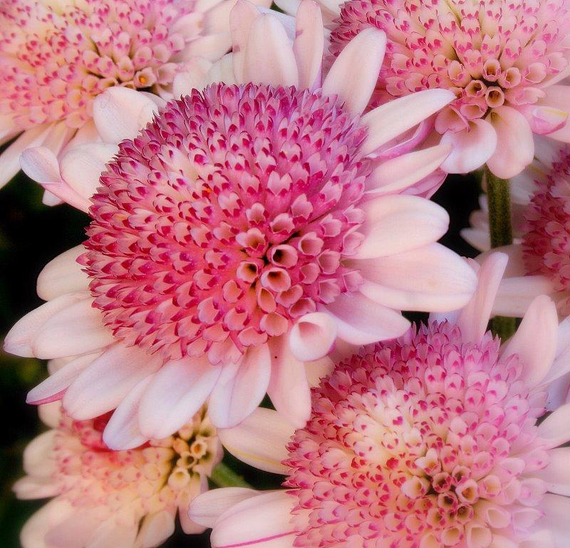 "фото ""Pretty in Pink"" метки: природа, цветы"