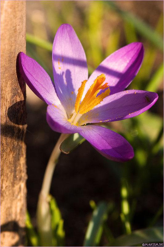 """фото """"признак весны..."""" метки: макро и крупный план, природа, цветы"""