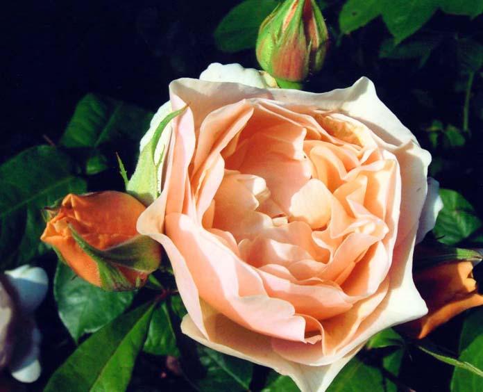 """фото """""""" Just For You Silvia """""""" метки: макро и крупный план, природа, цветы"""
