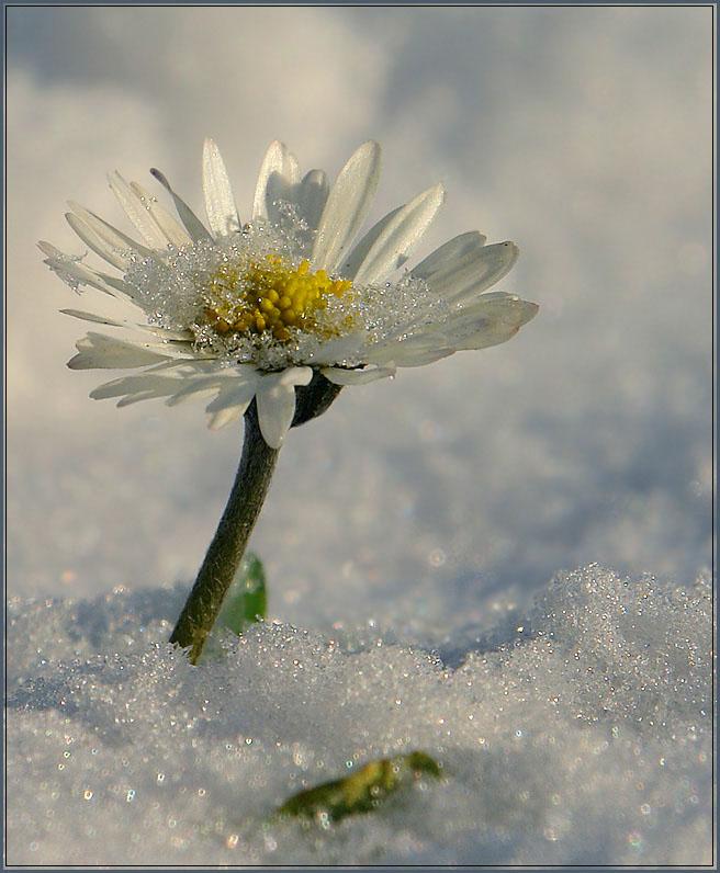 """фото """"неожиданный снег"""" метки: природа, макро и крупный план, цветы"""