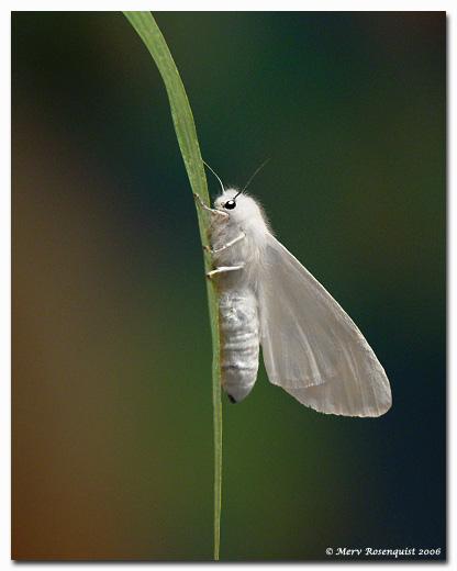"фото ""Wooly Bear Moth"" метки: природа, насекомое"