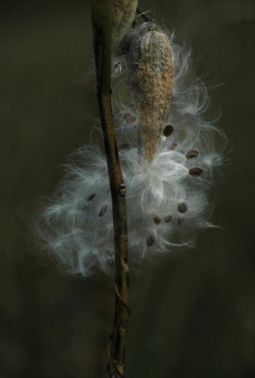 "photo ""Milkweed"" tags: nature, flowers"