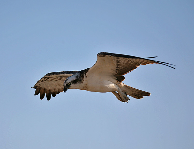 "photo ""Osprey 05"" tags: nature, travel, Africa, wild animals"