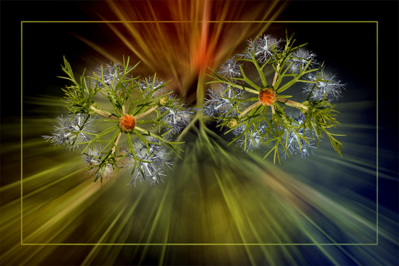"photo ""Wedding of stars"" tags: nature, montage, flowers"