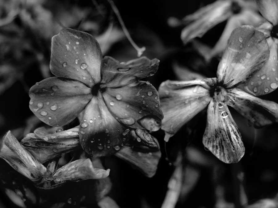 """фото """"Черно-белые цветы"""" метки: ,"""