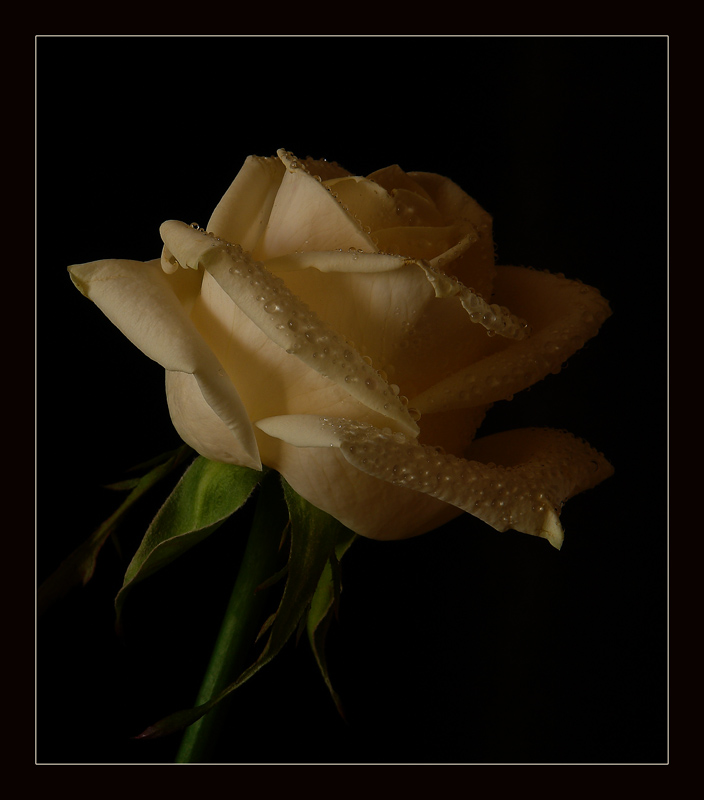 "photo ""About something crying Rose ..."" tags: nature, flowers"