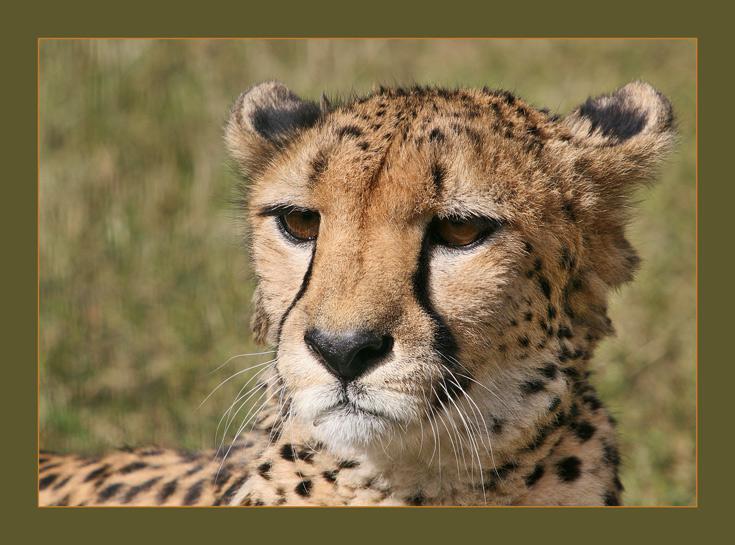 "photo ""Взгляд"" tags: nature, portrait, wild animals"