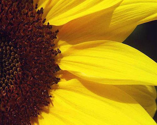 """фото """"Sunflower Half"""" метки: природа, цветы"""
