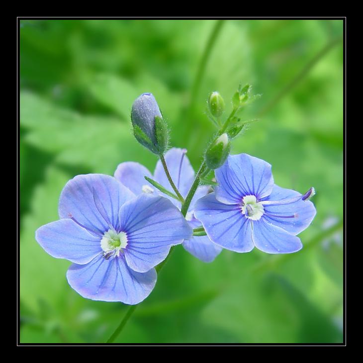 """фото """"Вероника дубравная (Veronica Chamaedrys)"""" метки: природа, макро и крупный план, цветы"""