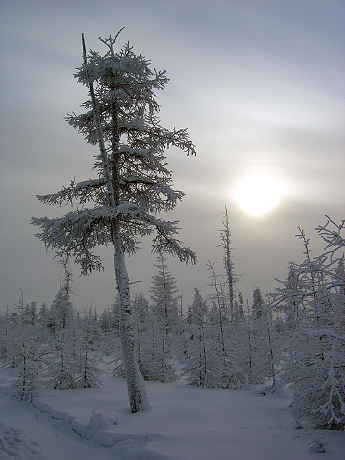 "photo ""The cold sun of North"" tags: landscape, forest, winter"