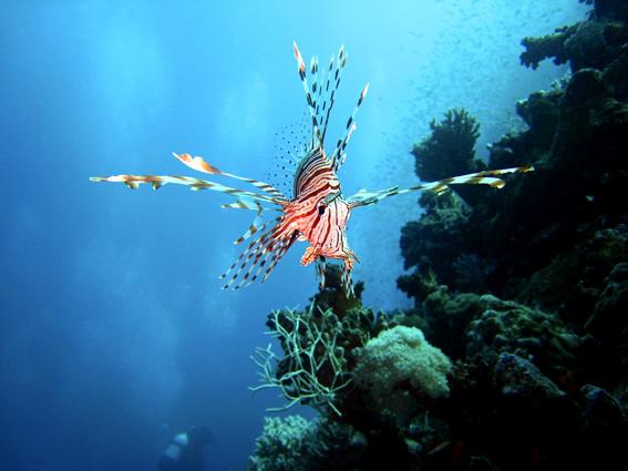 """фото """"Крылатка"""" метки: путешествия, подводные, Африка"""