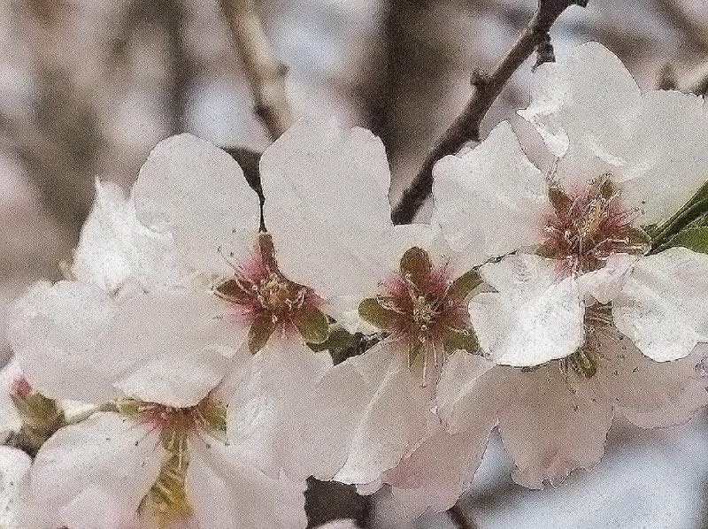 """фото """"Миндаль (шелк)"""" метки: природа, цветы"""