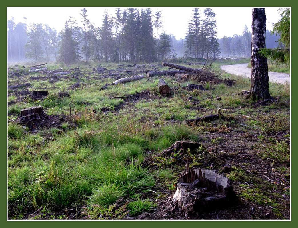 """фото """"Утро на вырубке"""" метки: пейзаж, лес"""