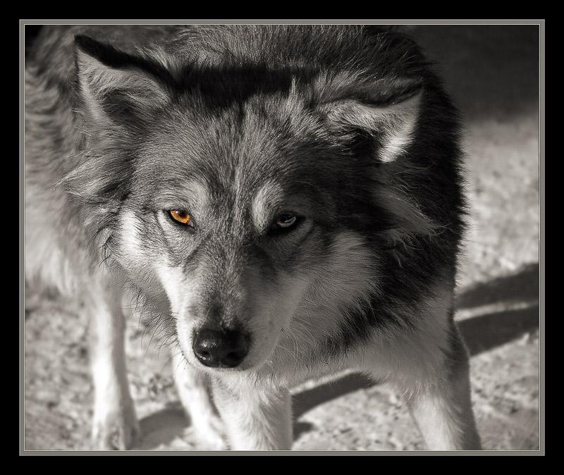"photo ""Wild..."" tags: nature, black&white, pets/farm animals"