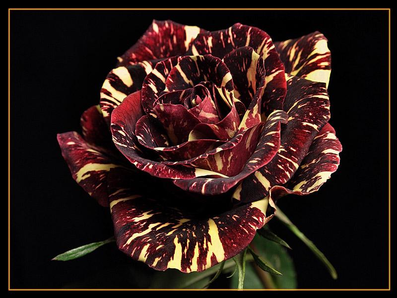 """фото """"роза в полоску"""" метки: природа, макро и крупный план, цветы"""