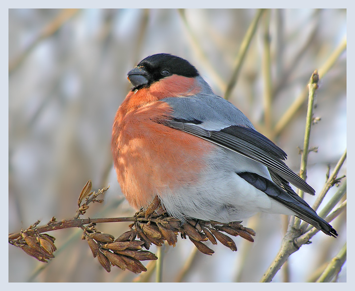 "photo ""Bullfinch in lilac"" tags: nature, wild animals"