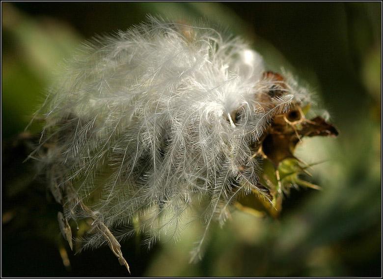 """фото """"Пушинка или птенец :)"""" метки: макро и крупный план, природа,"""
