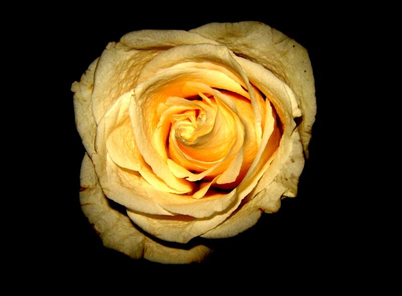"""фото """"Галактика Розы"""" метки: природа, макро и крупный план, цветы"""