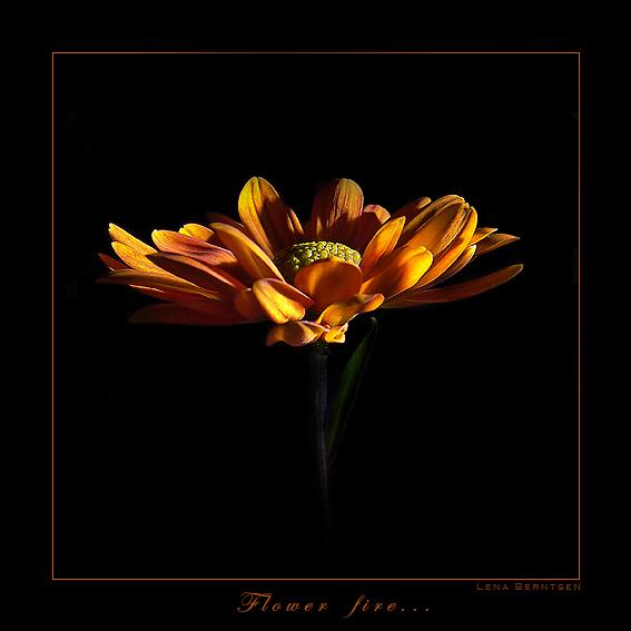 """фото """"Flowers fire..."""" метки: макро и крупный план, природа, цветы"""