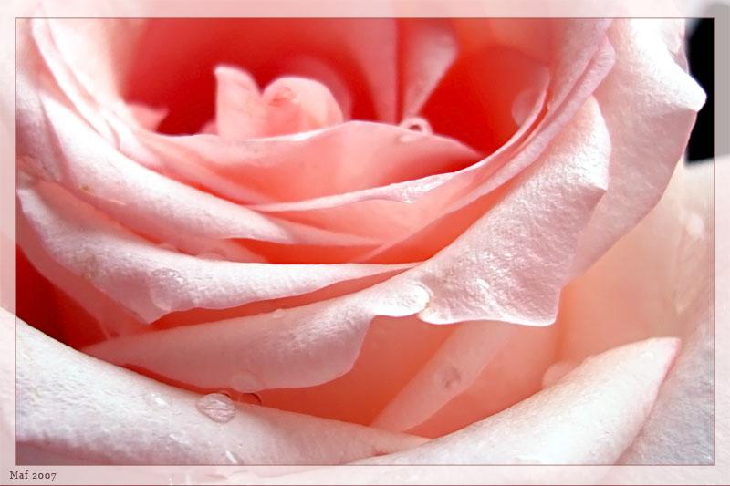 """фото """"Роза."""" метки: природа, макро и крупный план, цветы"""