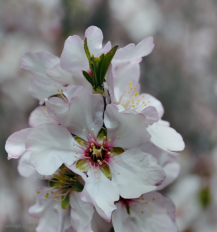 "photo ""Almond-tree"" tags: nature, flowers"