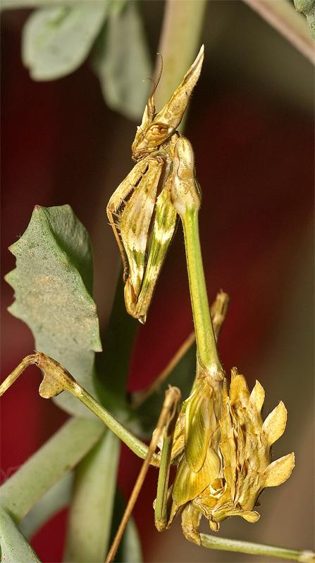 """фото """"Танцор"""" метки: природа, макро и крупный план, насекомое"""