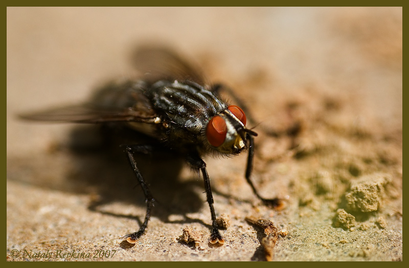 "photo ""A Fly"" tags: nature, macro and close-up, insect"