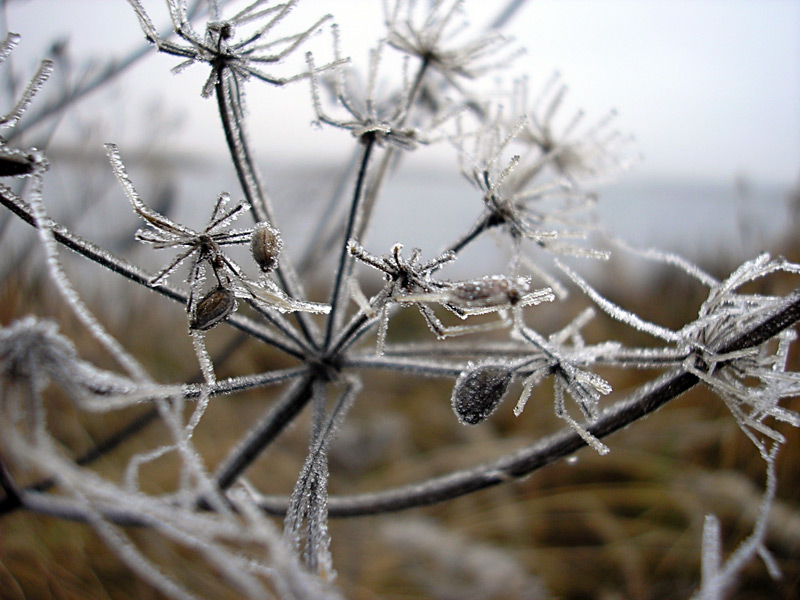 "photo ""Ice spiders"" tags: macro and close-up, nature, flowers"