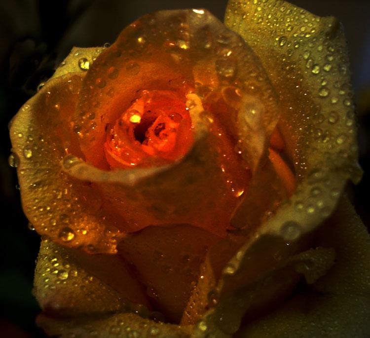 "фото ""роза"" метки: природа, цветы"
